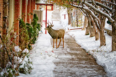 SEEKING SHELTER (Aspenbreeze) Tags: winter snow church nature animal colorado stag deer antlers wildanimal snowing buck muledeer camoflauge maledeer buckmuledeer aspenbreeze bestofblinkwinners artistoftheyearlevel2 blinkagainsuperstars blinksuperstar moonandbackphotography