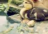 Duckling (SOMETHiNG MONUMENTAL) Tags: baby lake water duck nikon rocks soft small duckling d60 somethingmonumental mandycrandell