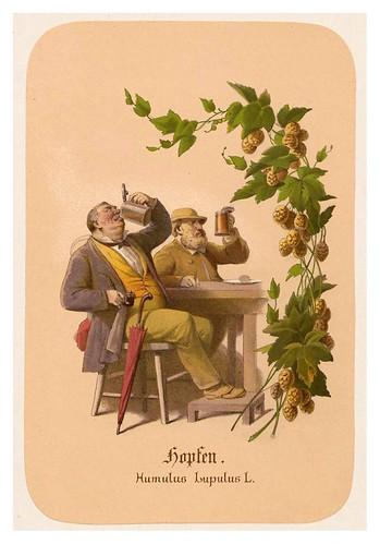 014-Lupulo-Illustrirtes Kräuterbuch –Aquarelle- 1870-Adolf Schroedter by ayacata7