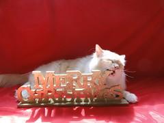 Chewy (MinkBlue) Tags: christmas red portrait sign glitter gold oscar y nye chewy backdrop ragdoll 2012 the 2011