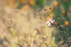 Autumn harvet - DSC_6410br (Zilch^^) Tags: flower butterfly flying moth korea bloom southkorea suwon 한국