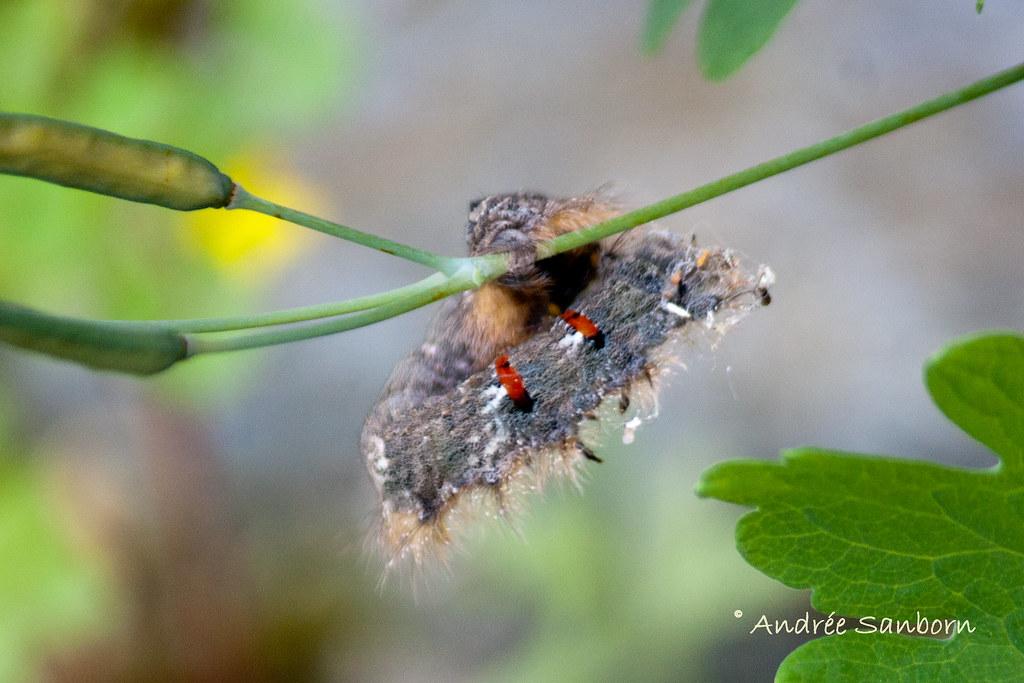 American Lappet Moth Larva (Phyllodesma americana)-54.jpg