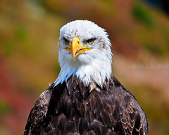 "Bald Eagle Haliaeetus leucocephalus ("""" Arun) Tags: summer orange white canada black bird birds vancouver nikon eagle head north baldeagle beak bald large northvancouver eagles arun haliaeetus leucocephalus d90 largebird topshots nikond90 natureselegantshots"