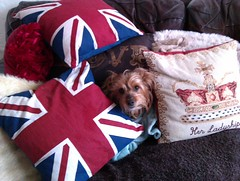 Skitsy in the pillows (Maisie Sinclair) Tags: santa christmas xmas dog brown white love yorkie hat mobile bells reindeer jack outfit snowman phone head yorkshire union cream fluffy pillows terrier collar hiding pooch yorkshireterrier santahat unionjack wildfire htc jangle skitsy htcwildfire