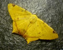 Geometridae. Nepheloleuca complicata. (gailhampshire) Tags: moths geometridae stlucia complicata nepheloleuca taxonomy:binomial=nepheloleucacomplicata
