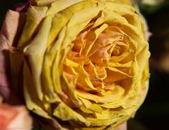 Aged Beauty (David S Wilson) Tags: flowers england flower fall ely nikkor50mmf18 lightroom flowersplants lr3 2011 sonynex davidswilson