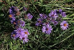 Fleabane (Purple) in New York, USA. Oct 2011 (Tom Turner - NYC) Tags: city nyc flowers usa plant newyork flower nature weed purple unitedstates magenta wildflowers statenisland bigapple fleabane tomturner mountloretto mtloretto