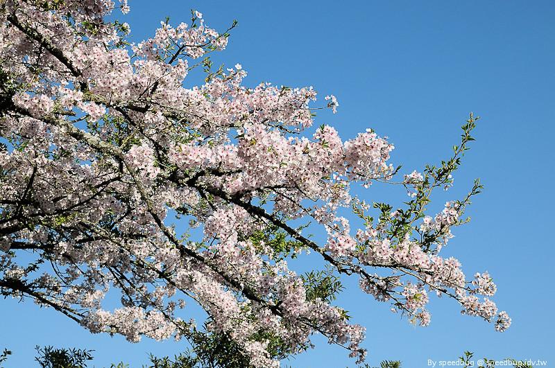 阿里山櫻花季29
