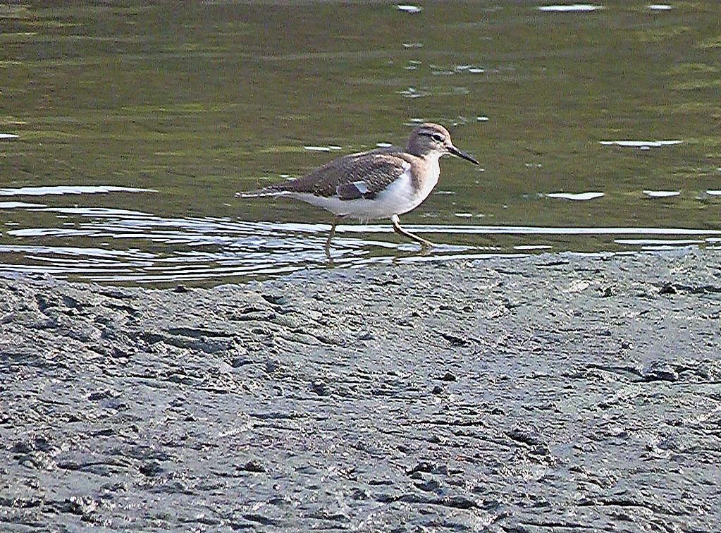 01-10-2011-birds-am-i-a-sandpiper