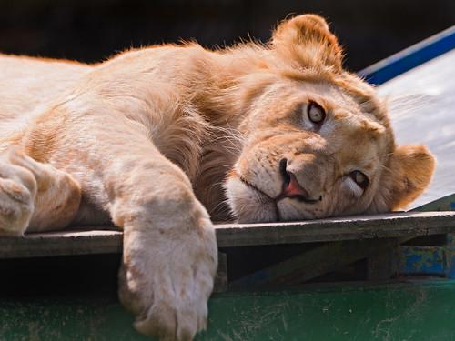 [フリー画像] 動物, 哺乳類, ライオン, ホワイトライオン, 201110081100