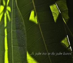 A palm tree in the palm leaves (Mi Ko) Tags: trees light shadow reflection tree green leave palms licht nikon flickr palm grn bltter schatten palme potential reflektion palmen bearbeitet palmenbltter