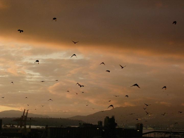 vancouver crow migration 002