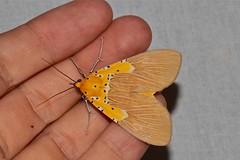 Asota speciosa (Erebidae: Aganainae) (Dr. Alexey Yakovlev) Tags: southafrica erebidae aganainae vernoncrookesnaturereserve