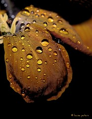 Liquid Gold (louise peters) Tags: rain drops ngc wallflower erysimum regendruppels cheiri muurbloem