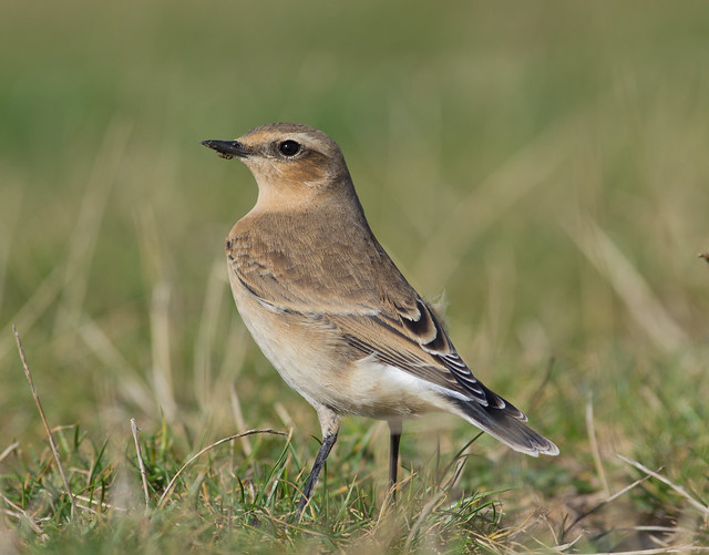 wheatear with weevil on beak afternoon 300mm Look over back
