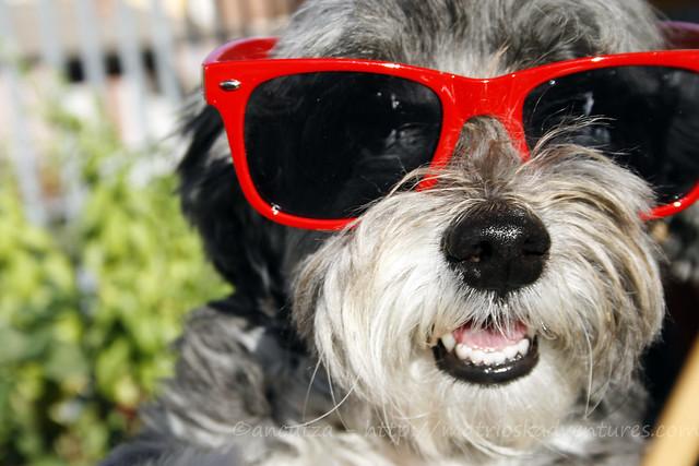 immagine foto cane con occhiali da sole