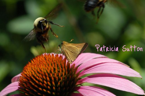 PurpleConeflower w-RareSkipper-bee-w-text