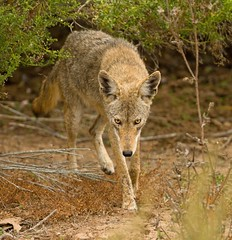 COYOTE (sea25bill) Tags: california coyote morning fall animal mammal canislatrans