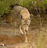 COYOTE (sea25bill) Tags: california coyote morning fall animal mammal canislatrans