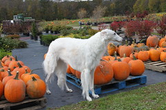 dog halloween view market valley farms russian sighthound borzoi wolfhound