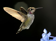 Anna's Hummingbird (Calypte anna) (buffalo_jbs01) Tags: bird nikon hummingbird specanimal d3s