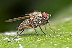 Muscid Fly (testing) (nyjah_kruz) Tags: insect 7d flies macroextreme mpe65mmf28