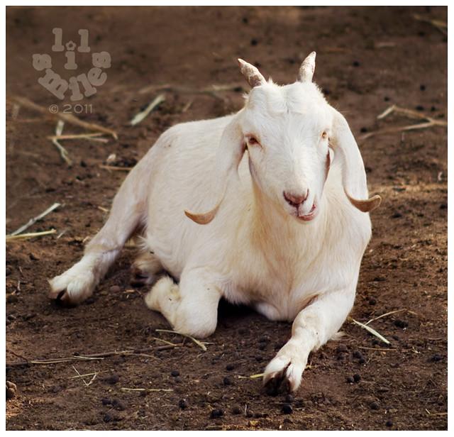 Goat pose