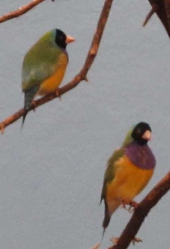 10.22.11 Franklin Park Zoo - Gouldian Finches