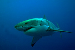 GWS3Oct24-11 (divindk) Tags: shark diving greatwhiteshark cagediving guadalupeisland diverdoug
