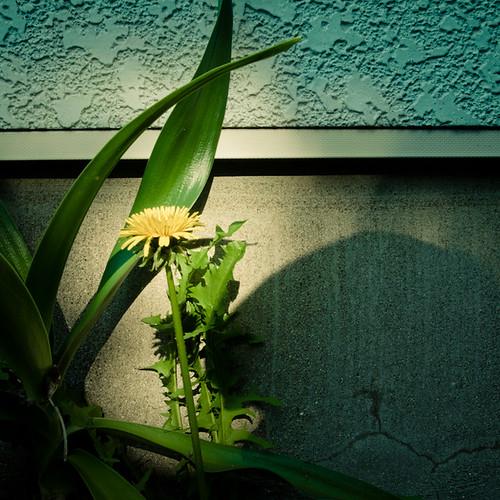 Dandelion Redux (タンポポ)