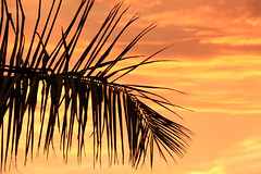 La Palma al Atardecer (Ana Encinas.) Tags: sunset sky orange cloud silhouette sonora canon mexico eos dusk palm cielo palmtree mexique silueta drama hermosillo palma naranja nube anaranjado messico 550d atardeder t2i anaencinas