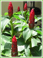 Costus woodsonii (Red Button Ginger, Scarlet Spiral Flag, Indian Head Ginger, Dwarf French Kiss, Dwarf Cone Ginger)