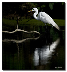 A great egret relaxing in the shallow water at Audubon Park... (Larry Daugherty) Tags: reflection bird water fly wings nikon louisiana neworleans feathers greategret audubonpark ardeaalba wadingbird commonegret d700 mygearandme mygearandmepremium nikkor500mmf4lens nikkor14xtc