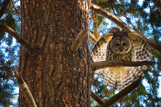 Barred Owl in Seattle's Washington Park Arboretum