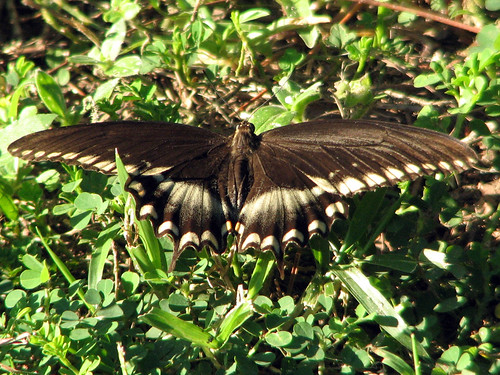 Palamedes Swallowtail (I think)