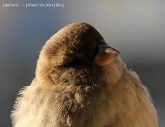 Just a tiny sparrow (grce) Tags: bird canon sparrow tamron