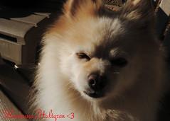 DSC_0689 (zoo2292) Tags: bear dog puppy doggy pomeranian pompom