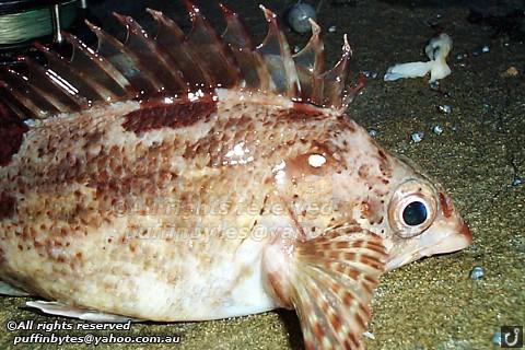 Western Kelpfish - Chironemus georgianus