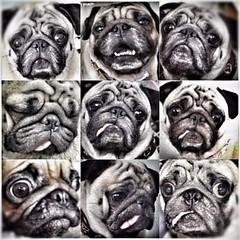 Emotions... *Smiling Pug* (*SMILING PUG*) Tags: dog bunny thailand bangkok smiles pug pugs buggy bambam  bugboy  bugbaby smilingpug smilingpugcalendar2008    bugbaby  pugdogpugssmilingsmilesvalentinehappyholidayssmilebugbabybunnybambamk9toyspug
