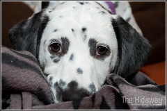 Butter wouldn't melt... (Simon Bone Photography) Tags: blackandwhite dog pet girl flash spots spotty dalmatian jemima k9 canon420ex stofendiffuser canon1740mmlf4 wwwthehidawaycouk canoneos7d
