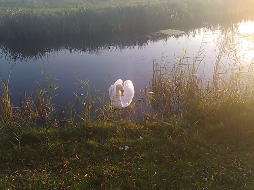Swan comes to say hello