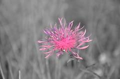 fleur_2 (KookaDimi) Tags: fleur rose soleil noir noiretblanc coucher plan nb soir loire blanc gros