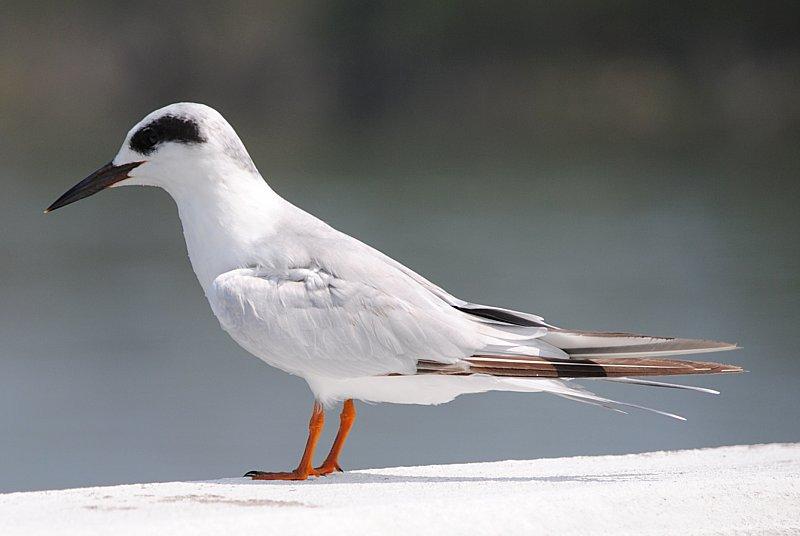 Forster's Tern 2