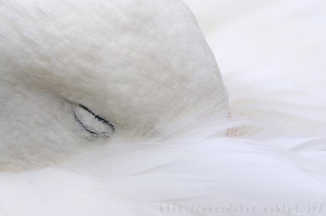 オオハクチョウ [Cygnus cygnus]