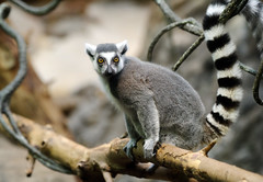 Ring Tailed Lemur (Eric Kilby) Tags: park yellow zoo franklin eyes ring lemur primate tailed