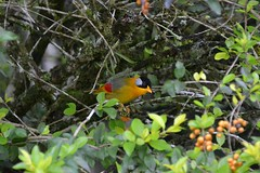 Silver Eared Mesia (Christophe Maerten) Tags: cloud bird forest silver highlands hill watching vogels malaysia fraser oiseaux bukit eared peninsular burung maleisi mesia schiereiland nevelwoud lunnit malaysiathailand2011