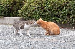 男山 ネコキス (GenJapan1986) Tags: 2011 ネコ 京都府 八幡市 男山 japan 日本 animal cat kyoto 動物 nikond90