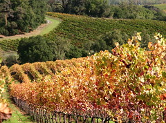 In A Better Year (**El-Len**) Tags: california autumn color vineyard vine explore winecountry fav10 thegalleryoffinephotography