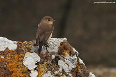 RedBreastedFlycatcher1011 100###### (gcampbellphoto) Tags: canon october northernireland portrush rarity rarebird redbreastedflycatcher