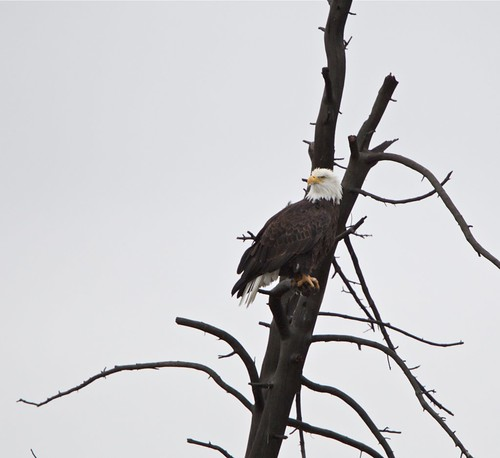 Madison River bald eagle by Mark/MPEG (Midwest Photography Enthusiasts Group)